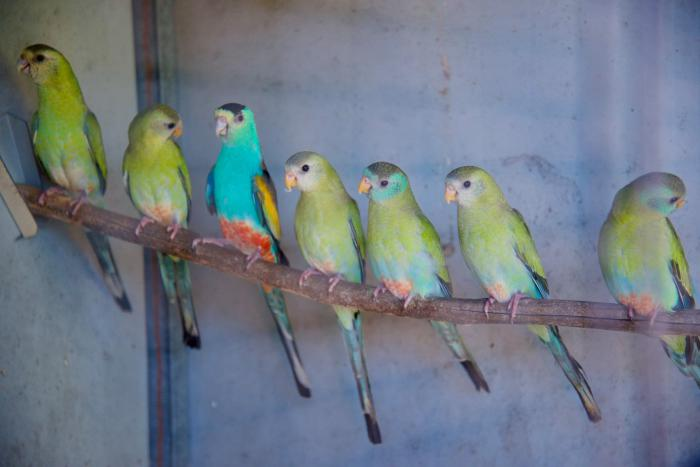 2020 GOLDEN SHOULDERED PARROTS