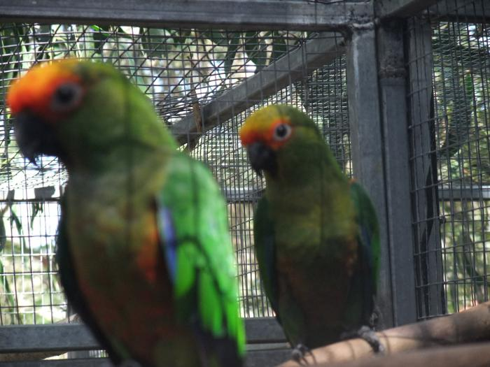 Gold Capped Conures, Breeding Pair with spare Hen