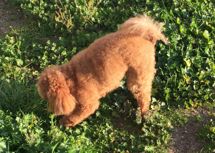 Adult Female Toy Poodle