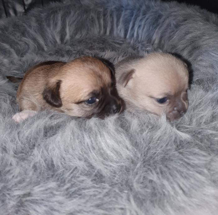 Pure bred Chihuahua pups male