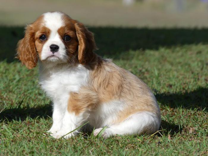 Cavalier King Charles gorgeous blenheim puppies READY NOW