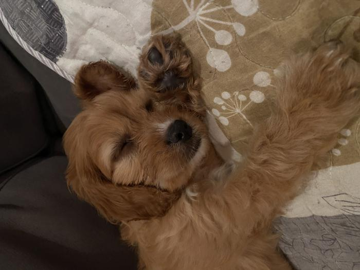 Cavoodle Ruby Female