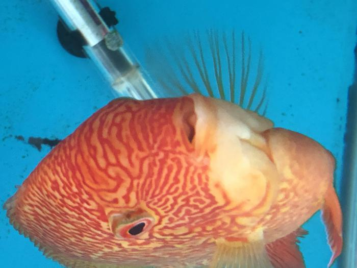 Quality Red Severum Pair