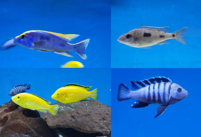 African cichlids $120 for the lot this weekend only