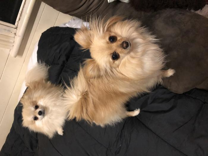 upcoming purebred pomerian pups