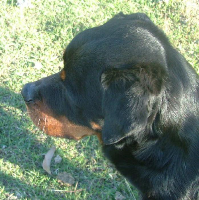 Give away to the best of Homes only Rottweiler adult F 8yrs