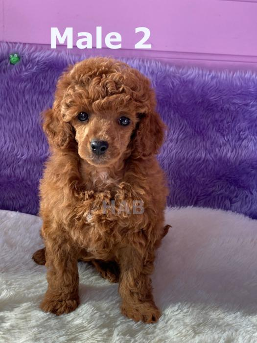 Toy Poodle pups Parents DNA tested