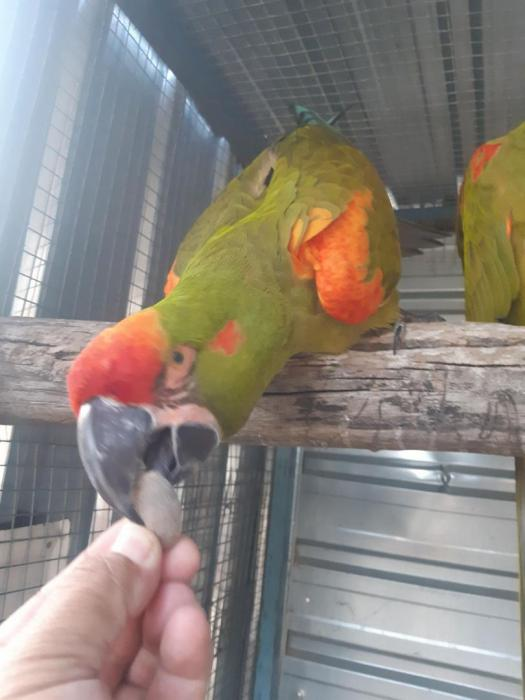 red fronted macaws - young