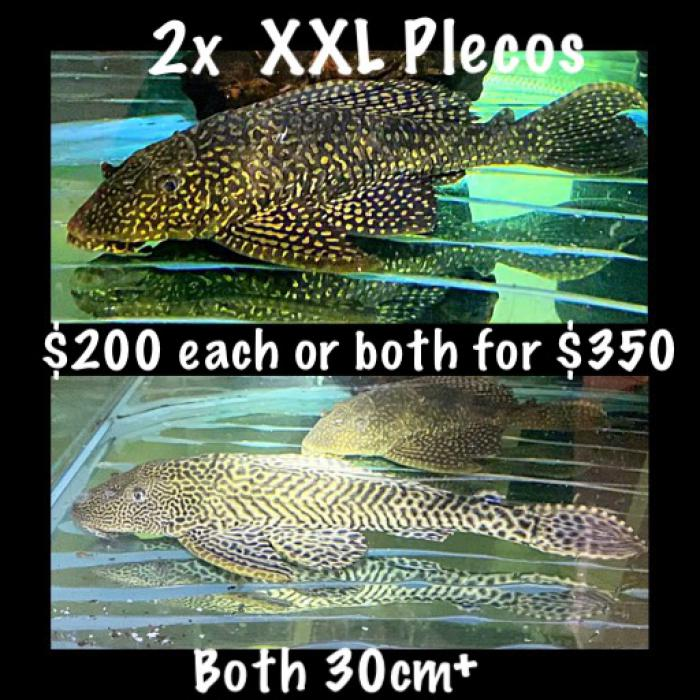 2x XXL plecos 30cm  $200 each or both for $350