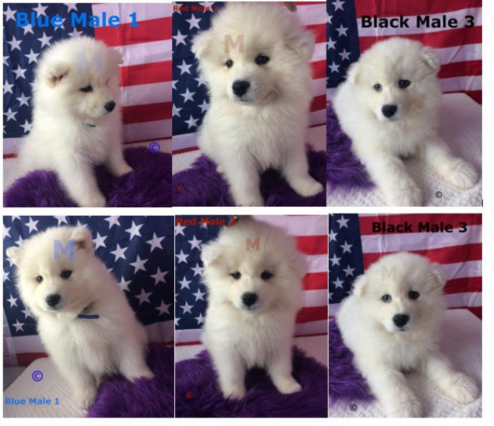 Samoyed puppies purebred