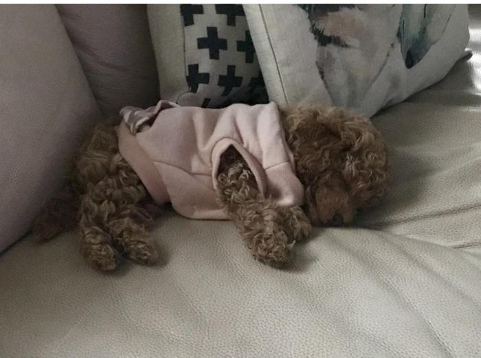 Poodle female miniature