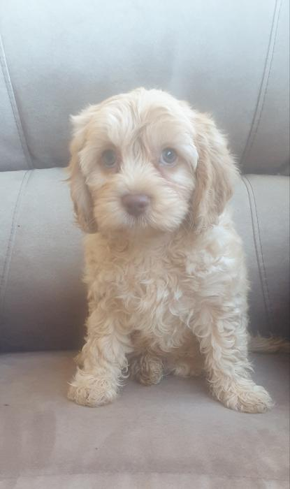 Cavoodle puppies 1st generation