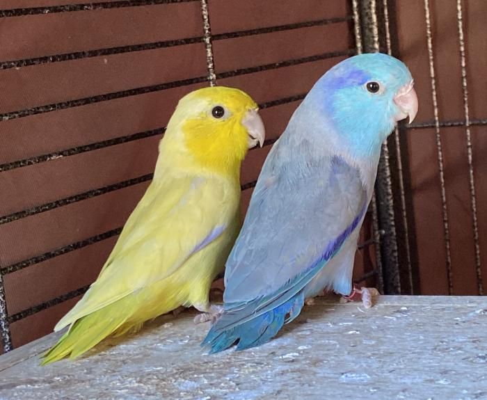 Parrotlets-breeding pairs