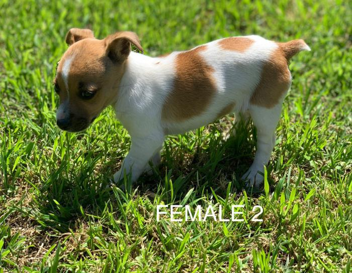 JACK RUSSELL  X FOXY PUPS