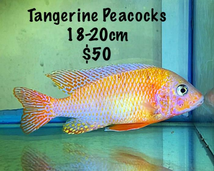 3x Extra large Peacocks all 15-20cm Take all 3 for $130 or