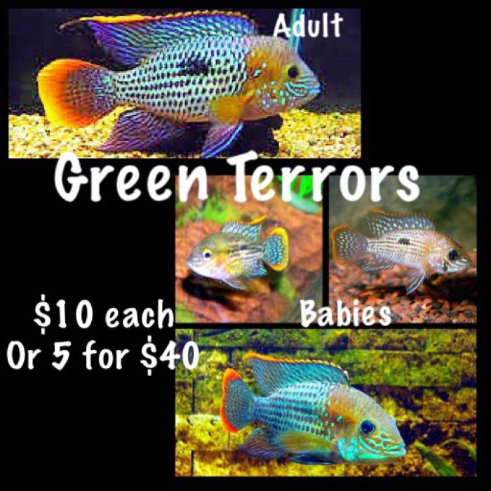 Green terrors 5-6cm $10 each Or 5 for $40