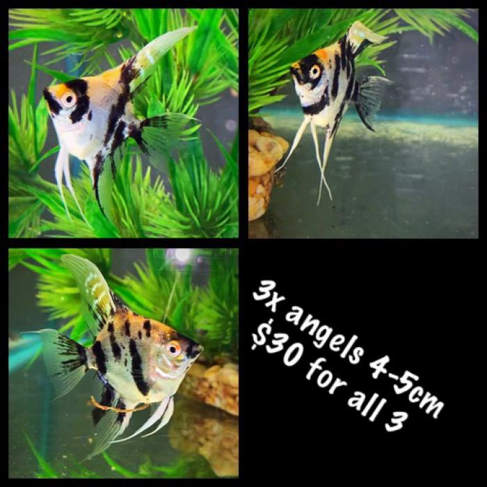 3x Koi Angels 4-5cm $30 for all 3