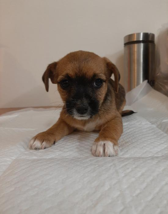 Chihuahua x JR mini foxy pups $2200