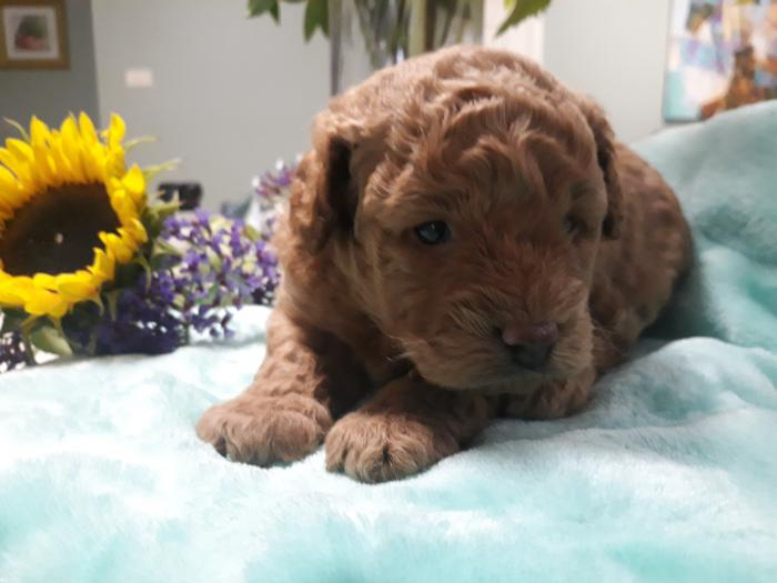 Purebred Toy Poodle - Apricot Male