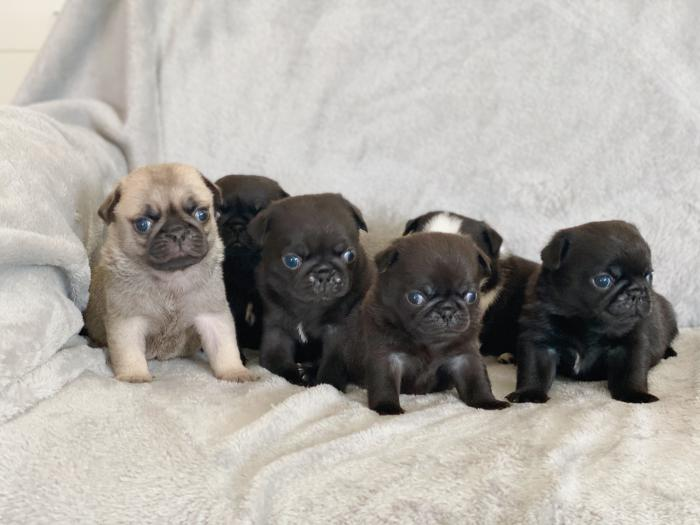 ? DNA HEALTH TESTED PEDIGREE PUG PUPPIES ?