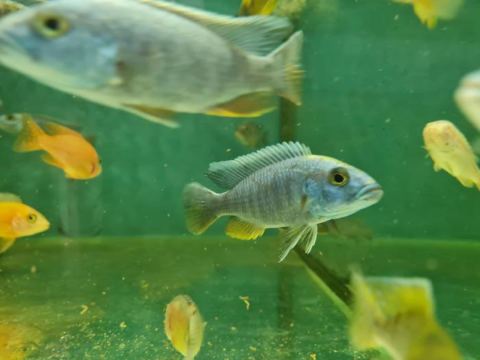 Electric blue cichlid special $17.50