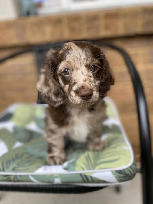 Male miniature dachshund long hair choc dapple