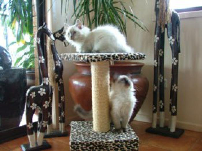 Ragdoll Kittens Pedigreed and registered $950 to $1200