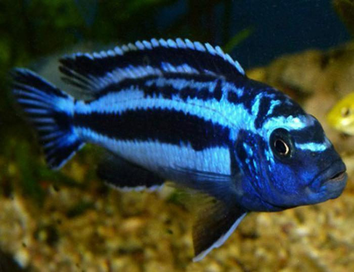 Maingaino cichlids available!