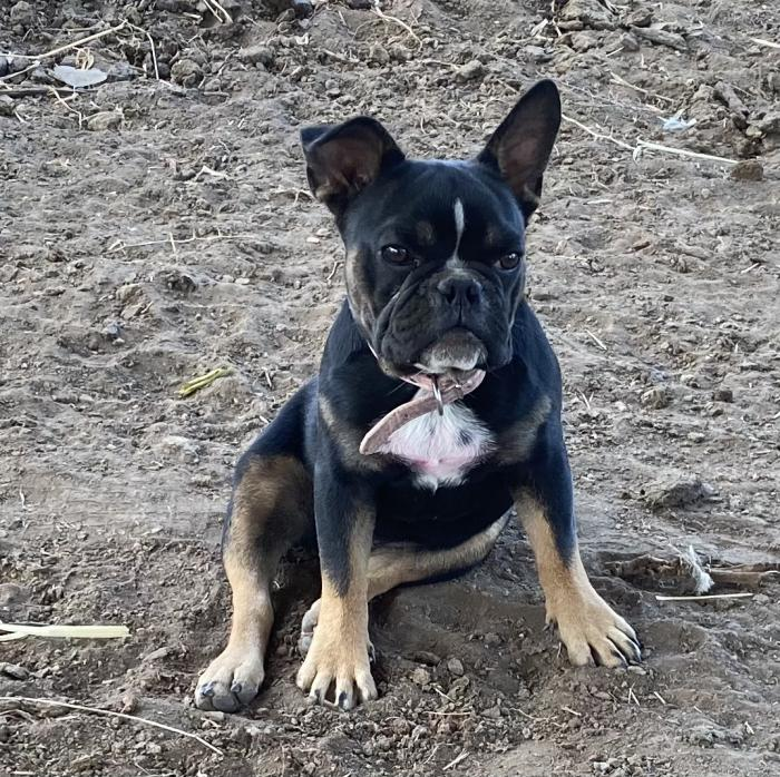 French bulldog girl 6 months old