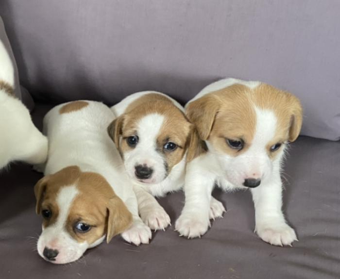 Jack Russell puppies females ready for new homes now