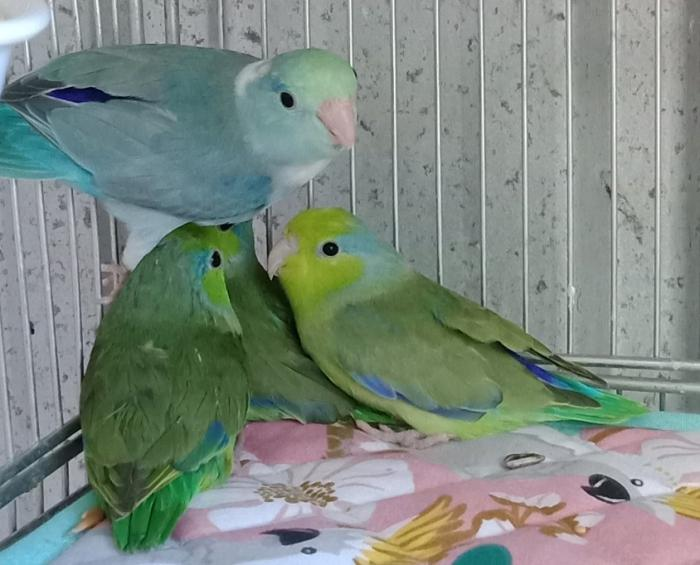 Parrotlets Ready Now