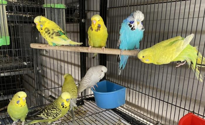 English show budgie youngs 2020 $30 females $20 green males