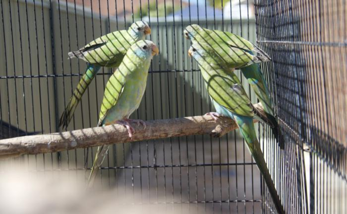 2020 HOODED PARROTS SPLIT PIEDS AND PURE NORMALS