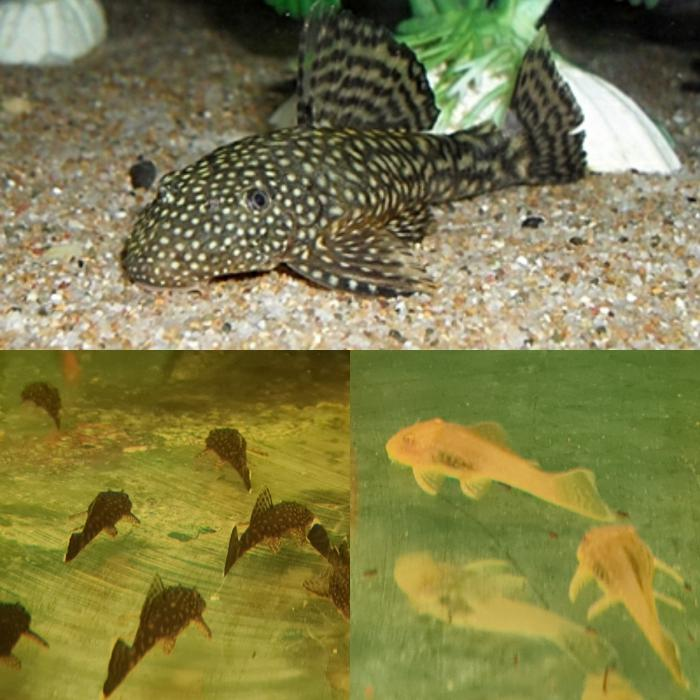Bristlenose common & albino available !