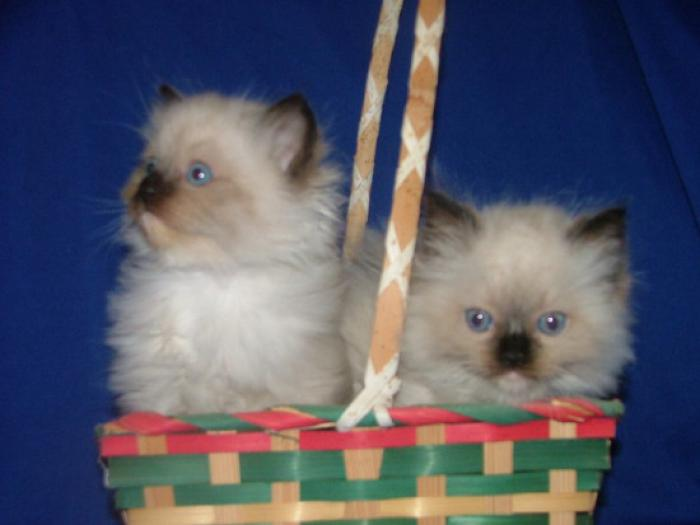 Ragdoll Cats and Kittens from Registered Breeder, ped.reg.