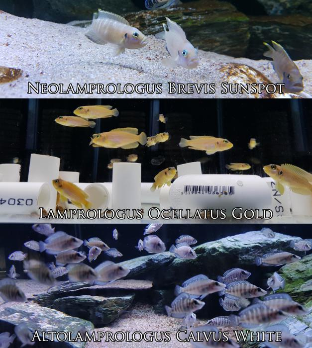 Tanganyikan & Malawi Cichlids, Bristlenose and Live Food