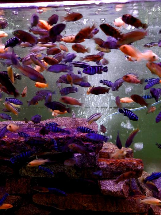 African Cichlids - available size 4cm to  12cm
