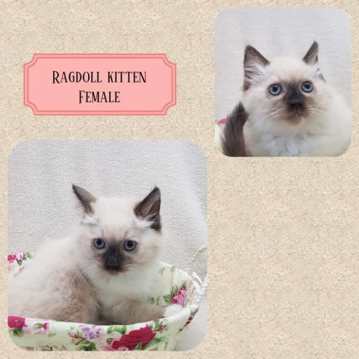 Ragdoll seal point boy and girl $850