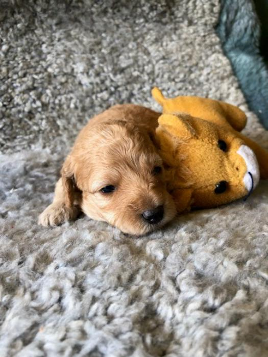 gorgeous cavoodle babies  male and female $3600