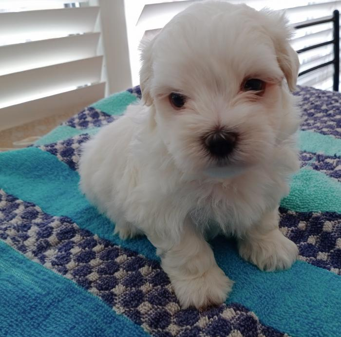 Pure bred maltese puppy male