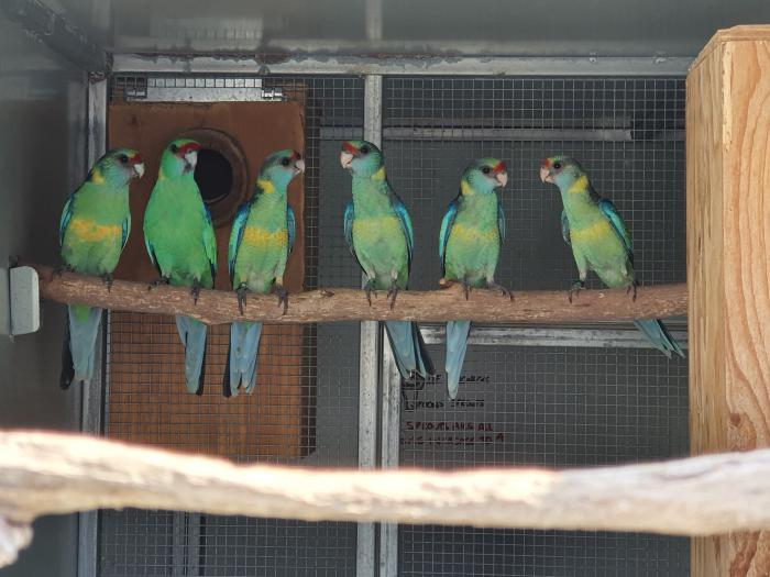 Mallee Ringnecks - Young DNA sexed pairs