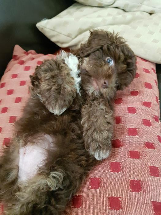 EOI Gorgeous Rare Chocolate Toy Cavoodles