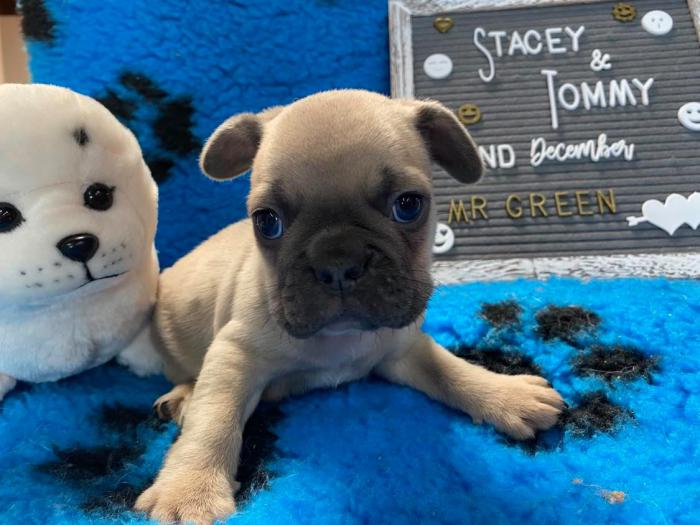 Registered French Bulldog puppies for sale!