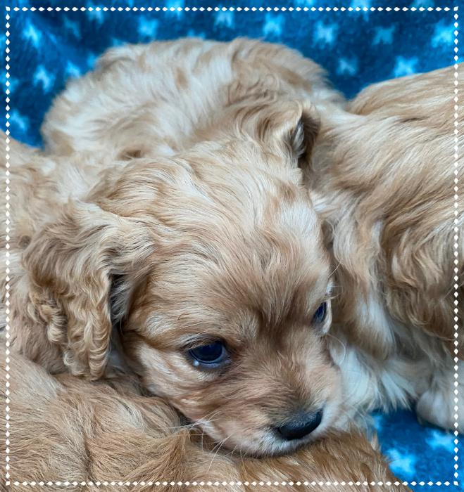 Super Sweet Cavoodles REDUCED