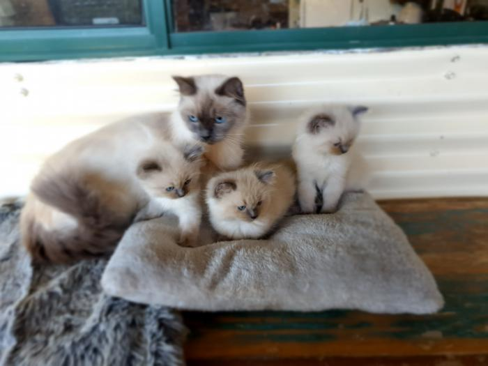 Purebred Ragdoll kittens ready for their new home