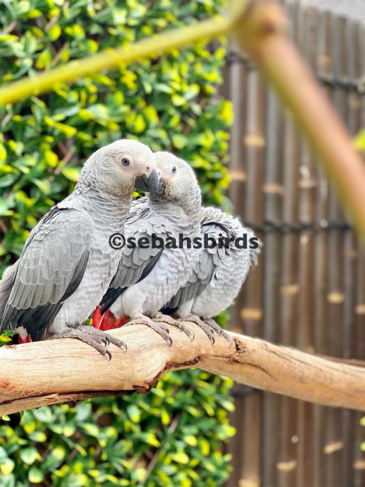 Baby African Grey's female ??  - Hand raised tame female