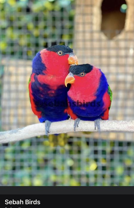 Our beautiful Black-Capped Lory Breeding Pair  - Bred before
