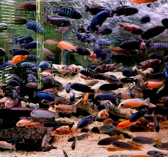 African Cichlids  available size 5cm  to 10cm