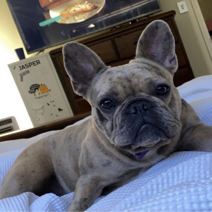 Female French bulldog blue merle