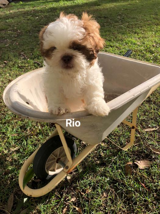 Purebred Shih Tzu puppies